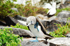 Blue footed boobie Stock Images
