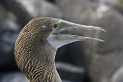 Blue Footed Boobie - Galapagos Islands Royalty Free Stock Photography