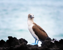 Blue footed boobie Royalty Free Stock Photos