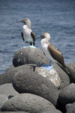 Blue Footed Boobies. The Blue Footed Boobie nest along the coast of the Galapagos Islands Royalty Free Stock Photo