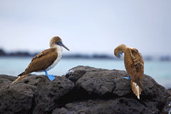Blue footed boobies Royalty Free Stock Image