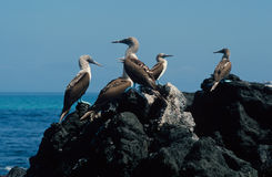 Blue-Footed Boobies Stock Photos