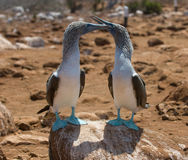 Free Blue-footed Boobies Royalty Free Stock Photography - 4452697