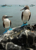 Blue Footed Boobies. A pair of Blue Footed Boobies from the Galapagos Stock Photo
