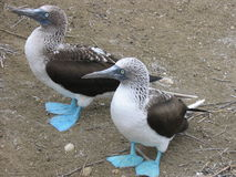 Blue-footed Boobies. Pacific, Isla de la Plata, Ecuador Royalty Free Stock Photography