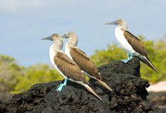 Free Blue-footed Boobies Royalty Free Stock Photography - 8829807