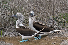 Blue-footed boobies Stock Images