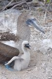 Blue Footed Boobies Royalty Free Stock Photo