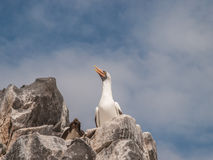Blue Footed Boobies on Cliff Stock Images