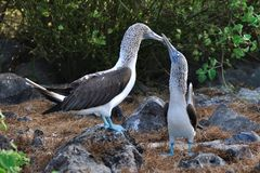 Blue-footed Boobies courtship display Royalty Free Stock Images