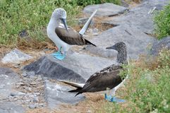 Blue-footed Boobies courtship display Stock Photos