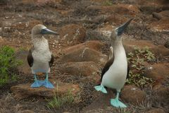 Blue-footed Boobies Dancing in Galapagos Islands Royalty Free Stock Images