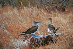 Blue-Footed Boobies doing mating dance Royalty Free Stock Photos