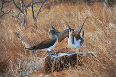 Blue-Footed Boobies doing mating dance Stock Images