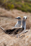 Blue-footed Boobies, Ecuador Coastline Royalty Free Stock Image