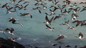 Blue footed boobies flying and fishing, Galapagos Stock Images