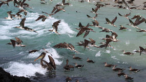 Blue footed boobies flying and fishing, Galapagos Royalty Free Stock Image
