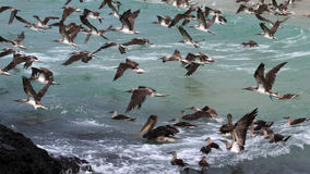 Blue footed boobies flying and fishing, Galapagos Royalty Free Stock Photography