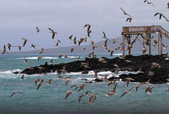 Blue footed boobies flying and fishing, Galapagos Stock Photography