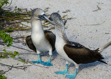 Blue-footed Boobies Stock Photo