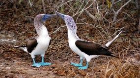 Blue Footed Boobies, Isla de la Plata, Ecuador. La Plata island is home for rare colored birds, blue-footed boodies Royalty Free Stock Photo
