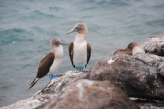 Blue-footed boobies Royalty Free Stock Photo