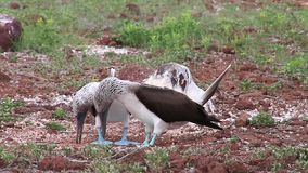 Blue-footed Boobies mating on North Seymour Island, Galapagos National Park, Ecuador stock video footage