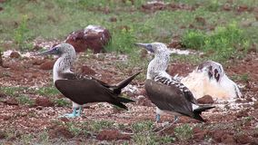 Blue-footed Boobies mating on North Seymour Island, Galapagos National Park, Ecuador stock video