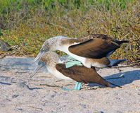 Blue footed Boobies Mating Royalty Free Stock Photo