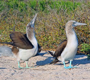 Blue- Footed Boobies Stock Photography