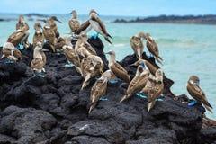 Blue footed boobies on a rock, Isabela island, Ecuador Stock Photography