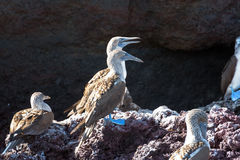 Blue Footed Boobies on a Rock Stock Photography