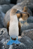 Blue-footed boobies sitting on the rocks. The Galapagos Islands. Birds. Ecuador. royalty free stock photos
