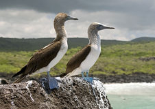 Blue-footed booby 1 Royalty Free Stock Images