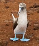Blue Footed Booby Stock Photography
