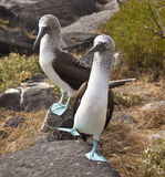Blue-Footed Booby Stock Images