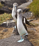 Blue-Footed Booby Royalty Free Stock Image