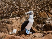 Blue-footed booby. The light bird with brightly blue feet sits on brown stones of a lava Stock Images
