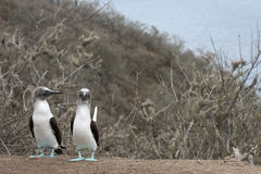 Blue footed Booby Royalty Free Stock Photos