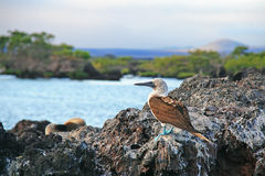 Blue Footed Booby Stock Image