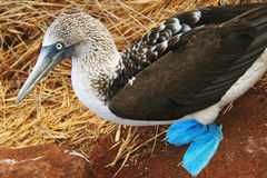 Blue Footed Booby Stock Images