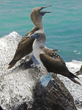 Blue-footed booby 7 Stock Photos
