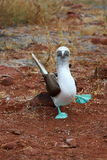 Blue footed booby Stock Photos