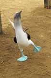 Blue-footed booby. Isla de la Plata. Ecuador Royalty Free Stock Photo