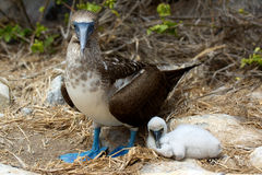 Blue footed booby with baby Royalty Free Stock Photo