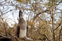 Blue Footed Booby Baby Royalty Free Stock Photography