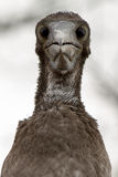 Blue Footed Booby Baby Royalty Free Stock Images