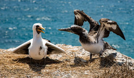Blue footed booby baby learning to fly Royalty Free Stock Photos