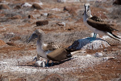 Blue-Footed Booby Stock Photography