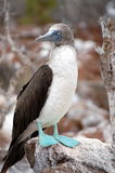 Blue-footed Booby bird. Photo was taken on Seymour Island, Galapagos Stock Photo